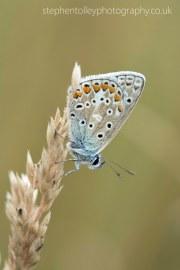 Common blue