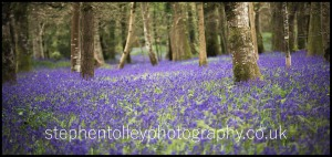 Bluebell wood at Lanhydrock