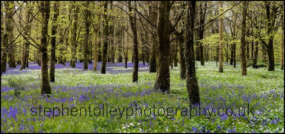 Wild Garlic and Bluebells at Lanhydrock