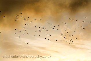 Flock of wading birds flying through sky