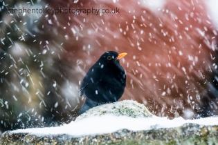 Blackbird (male)