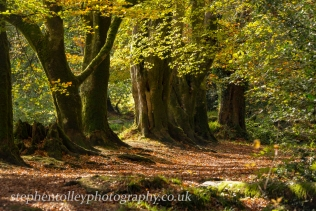 Autumn Beeches at Golitha