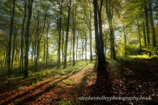 Autumn Beech woodland