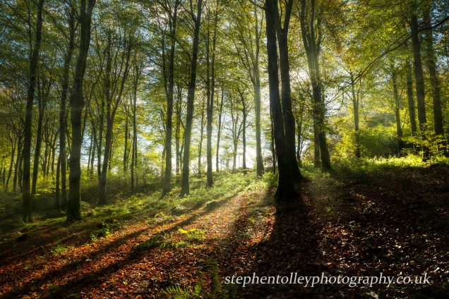 Autumn Beech woodland