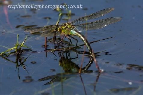 Emperor dragonfly oviposting