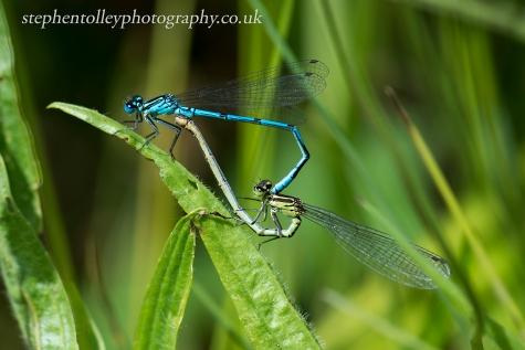 Blue damselflies mating