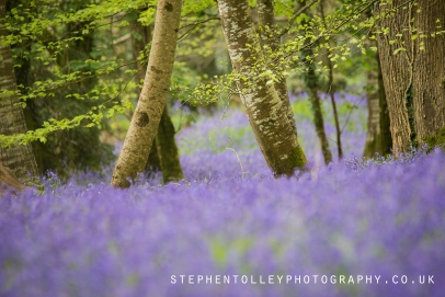 Bluebells at Lanhydrock