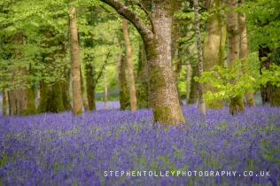 Bluebells at Lanhydrock