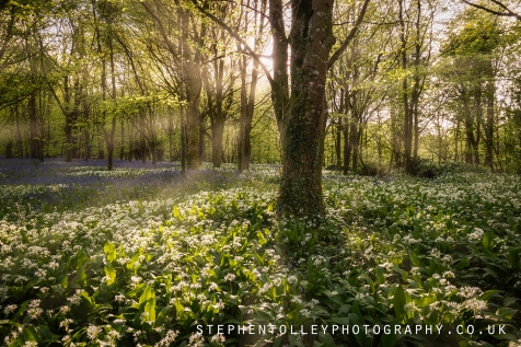 Wild Garlic Woodland